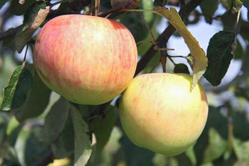 Высота яблоня подарок графскому 93
